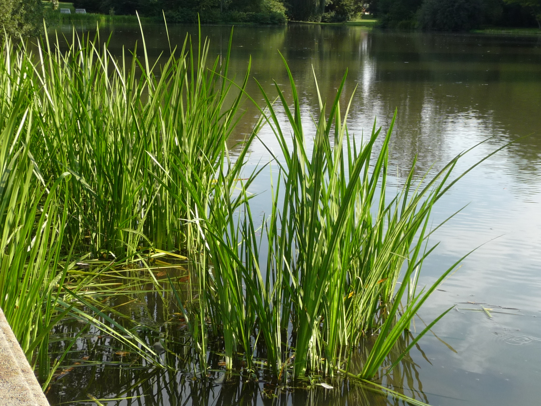 что аир болотный обыкновенный фото клубники мешках осуществляется